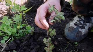 видео Размножение крыжовника