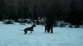 Weimaraner Dexter (australia 2009) First Trip To The Snow