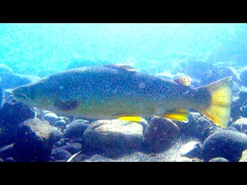 Big Browns of the Truckee River