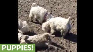 Pack of Westies love rolling in the mud