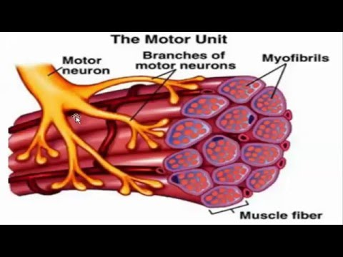 Muscle phyisiology
