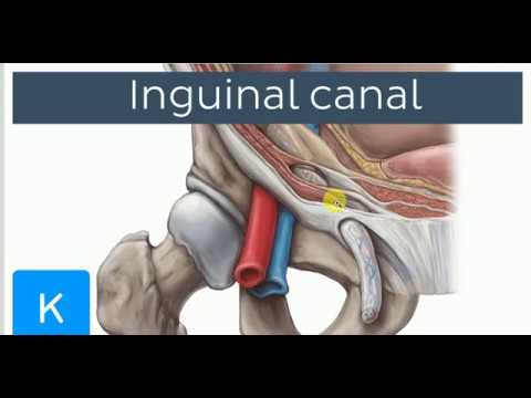 ANATOMY LECTURES , Inguinal region , INGUINAL CANAL , SPERMATIC CARD