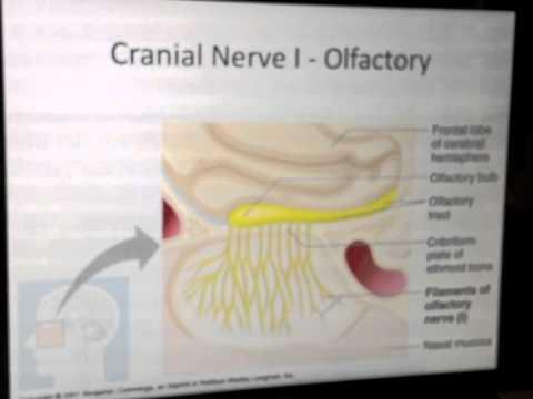 Cranial Nerves (1 of 12): Olfactory Nerve -- Head and Neck Anatomy 101