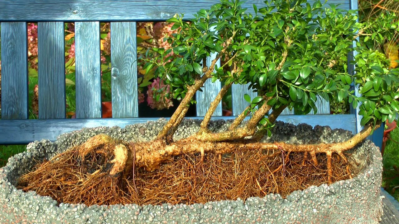 buchsbaum buxus bonsai flo form einpflanzen youtube. Black Bedroom Furniture Sets. Home Design Ideas