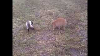 курильский бобтейл против сиамского кота