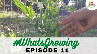 EP 11 | #WhatsGrowing in our Bell Garden [10.12.2020]