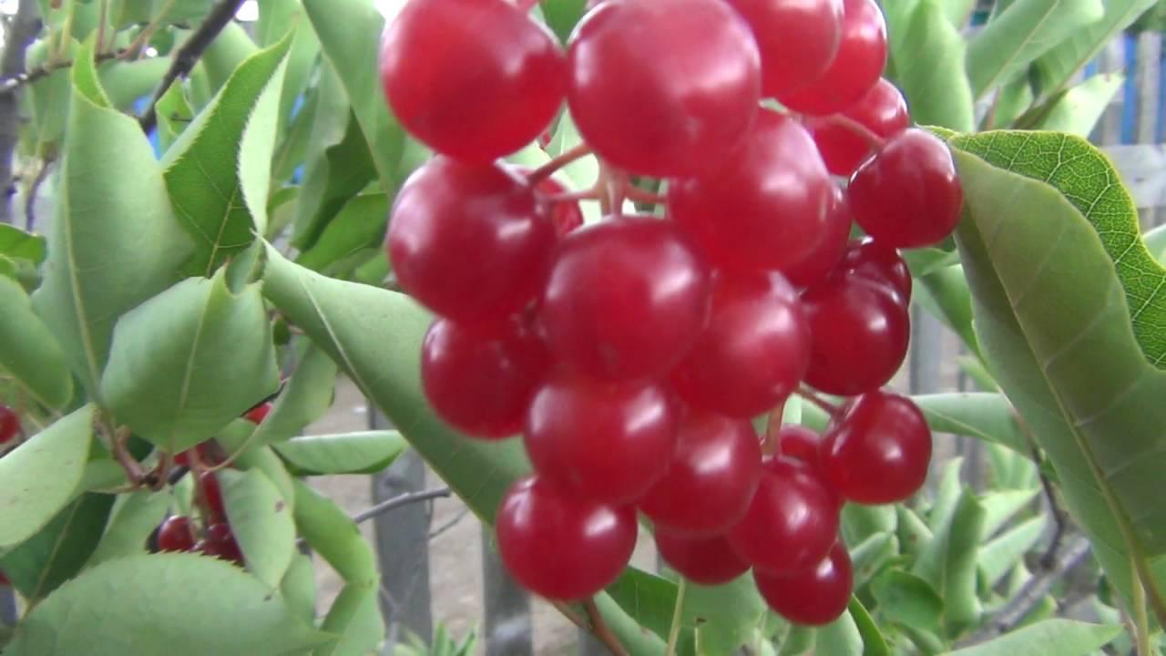 красная черемуха растение