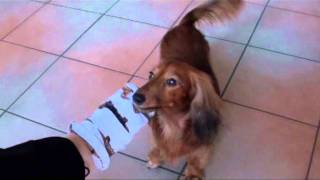 Dachshund Learning To Remove Socks