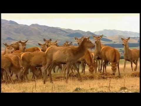 Puketira Deer - Deer Farming in New Zealand