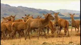 Puketira Deer - Deer Farming in New Zealand