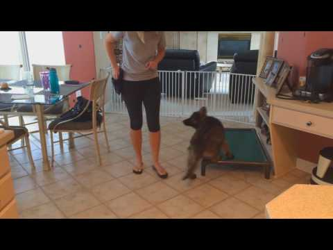 """Coated German Shepherd Puppy """"Apollo"""" 15 Wks Early Training W/Protection Dog Sales"""