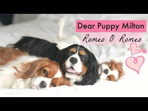 Dear Puppy Milton: Romeo O Romeo | Cavalier King Charles | Herky the Cavalier
