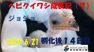 6月8日に人工ふ化したヘビクイワシ ジョジョの給餌の様子をご覧いただけます。 ---------------------------------------------------------------------------------...