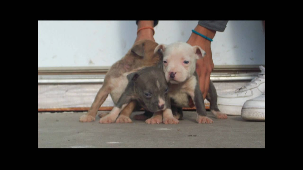 blue pitbull puppies for sale in texas