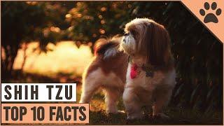 Shih Tzu Dog Breed  Top 10 Facts   Dog World