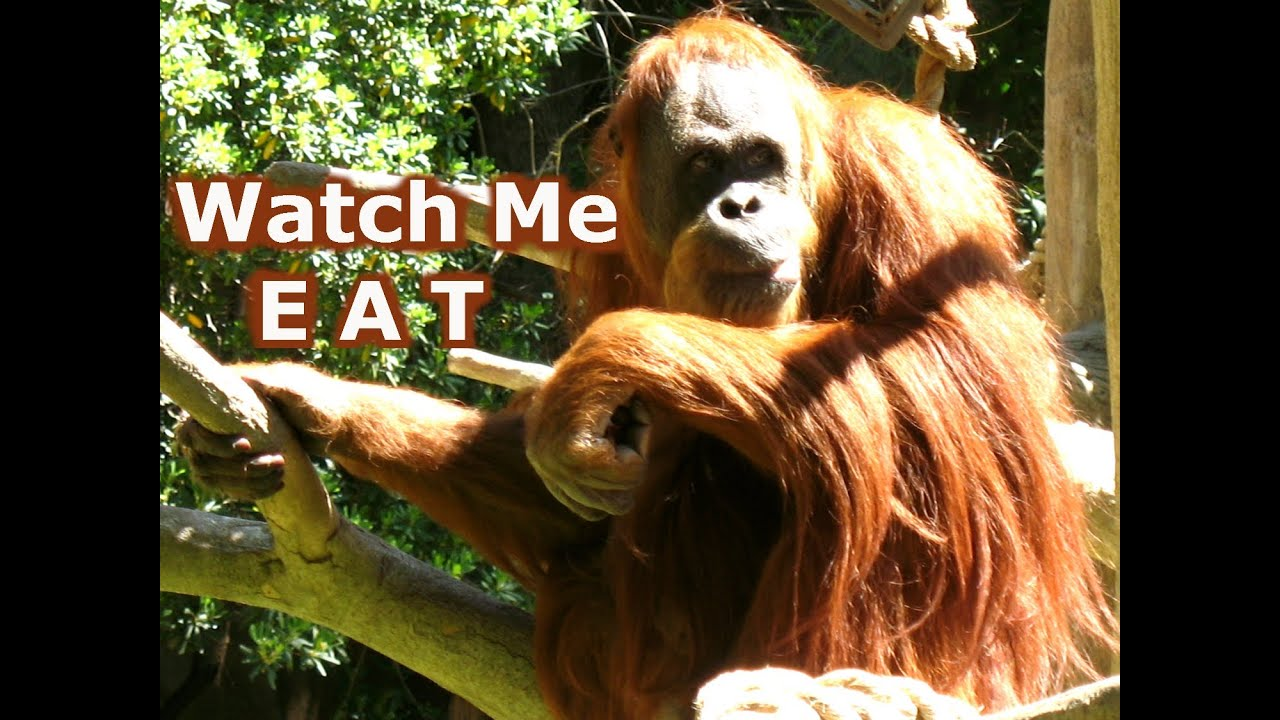 Brown Orangutan Monkey Ape Animal Eating At The Zoo Wild Animals Wildlife Videos Jazevox