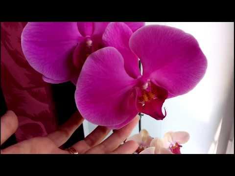 Орхидей: Фото и реальность.Сортовые орхидеи Shining Queen  и  Duo-Er-Gruen