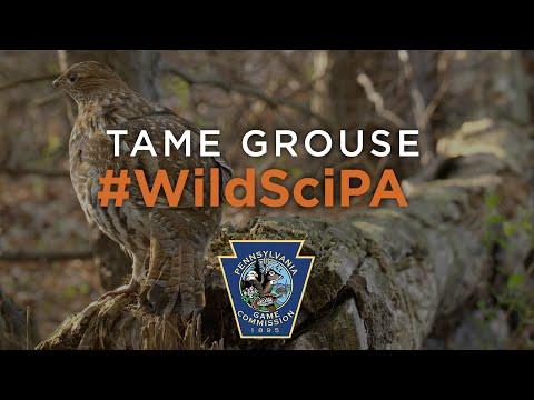 Tame Grouse - #WildSciPA