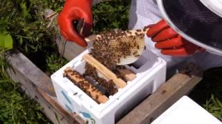 Beekeeping Basics with Thomas Clow - Working the Kieler Mating Nuc
