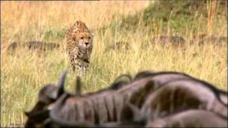 Repeat youtube video Cheetah sacks a baby Wilderbeest but Mom comes to the Rescue