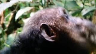【捕食】 チンパンジーが大好物のアカコロブス(猿)を群れで襲い捕食する...