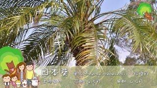 樹木名稱: 日本葵學名: Phoenix roebelenii 中文科名: 棕櫚科----------...