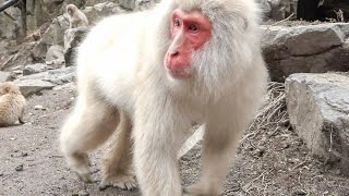 【SNOW MONKEY】 2017 Great Mom ☆Tokkuri 00☆ 4 地獄谷野猿公苑