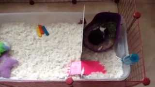 Baby guinea pig's cage setup/potty training update
