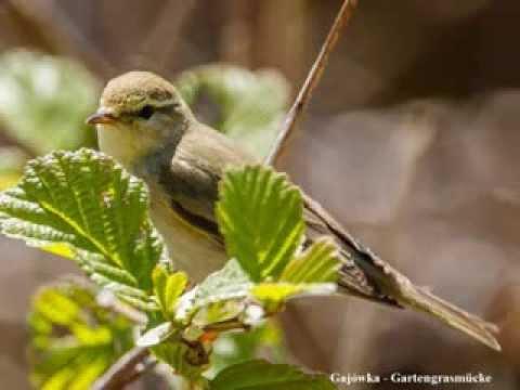 Ptaki Polski Wiosenne Odgłosy Ptaków Zięba Bergfink
