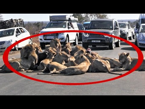 Lion kill blocks traffic in Kruger Park | Large pride hunts and eats buffalo in middle of road
