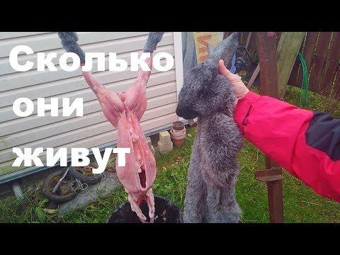 Сколько живут кролики % Кролики разведение на мясо