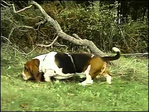 Basset Hound - AKC Dog Breed Series