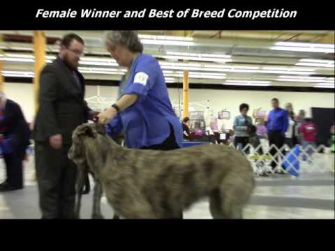 2-25-2017 South Arkansas Kennel Club - Irish Wolfhounds