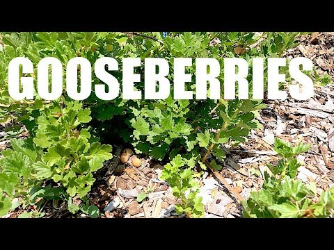 GOOSEBERRIES, Everything You Need To Know!