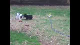 Teacup, Toy, & Miniature Schnauzers Playing