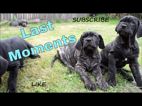 Puppies Leaving! Ep. 6 More Last Moments With Monster Neapolitan Mastiff Puppies