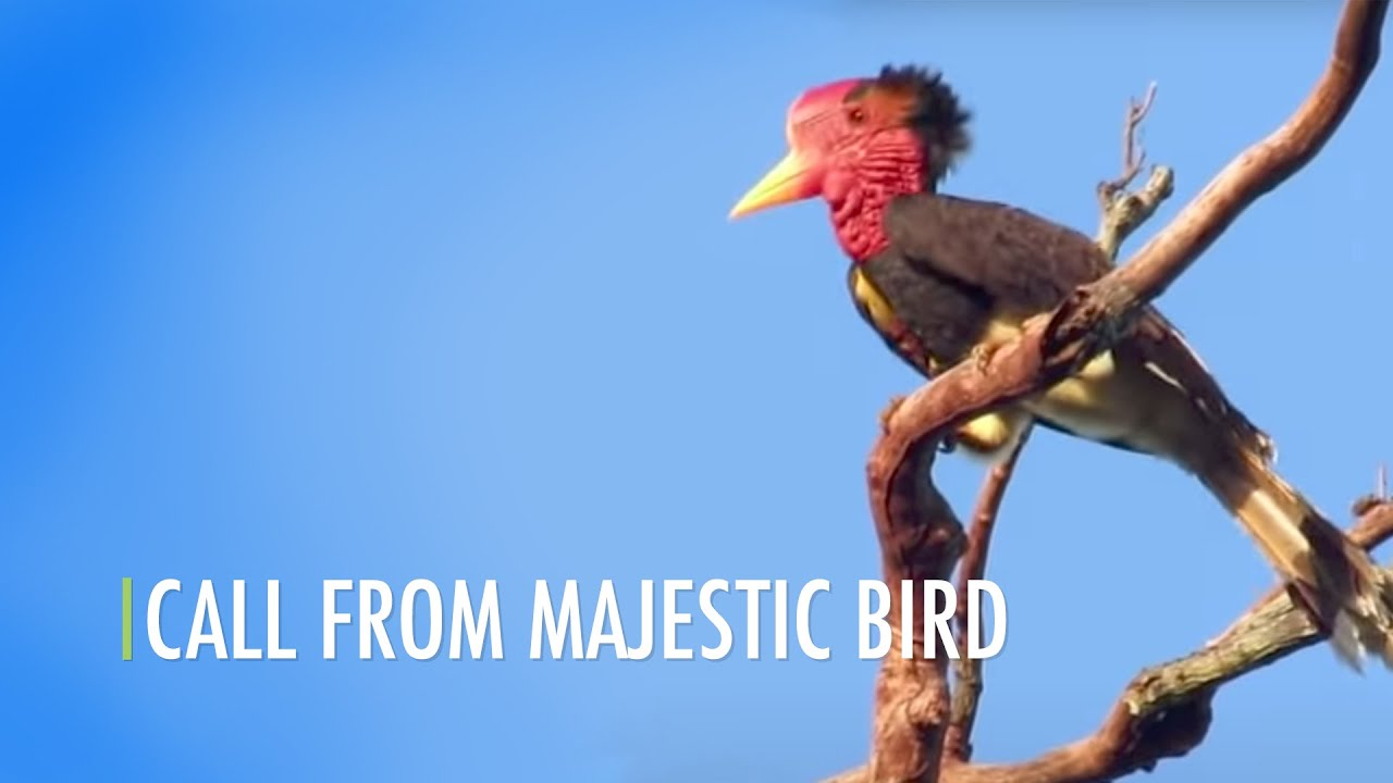 Call From Majestic Bird Youtube