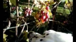 Dalmatian Eating Grapes