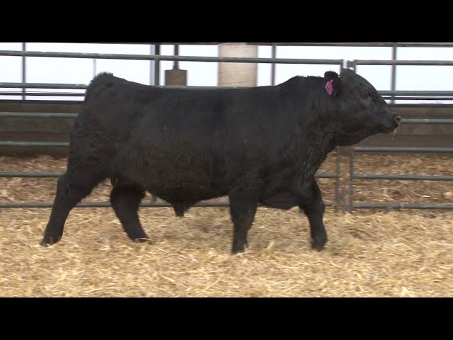 Schiefelbein Angus Farms Lot 47