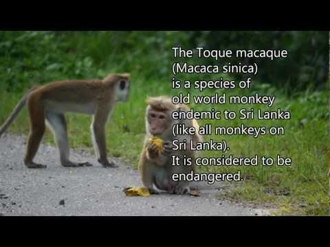 Toque macaque (Macaca sinica) - Sri Lanka