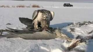 Кречет и серая цапля: птички притворяются