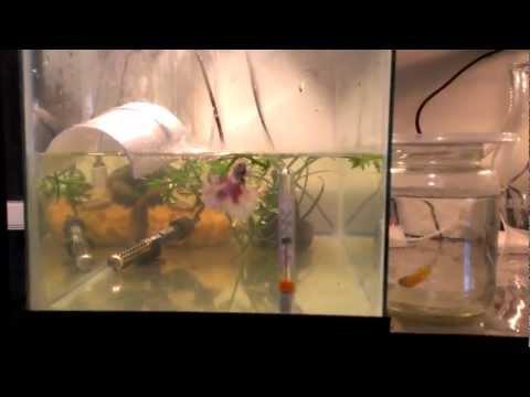 Betta Breeding - Tank set up