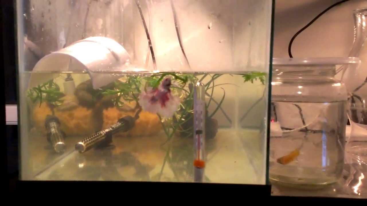 Betta breeding tank set up youtube for Betta fish mating