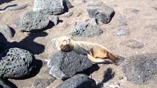 ガラパゴスアシカの子供 Galapagos sea lion