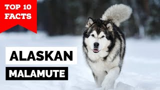 Alaskan Malamute  Top 10 Facts