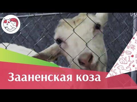 Вопрос: Какие породы коз самые живучие Как ухаживать за ними?