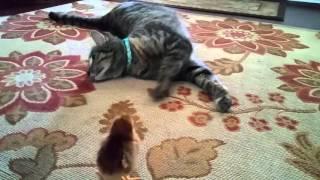 ヒヨコちゃん、はじめまして、仲よくしようね。猫とヒヨコの第一種接近遭遇は優しい世界だった