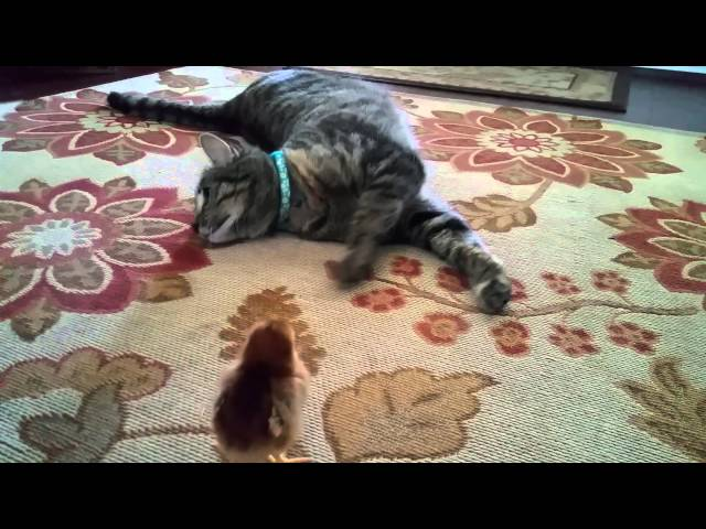 Pippie the cat  meets baby chick ♡
