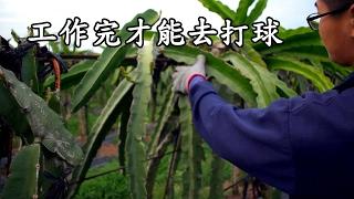 農事│ 火龍果日常剪枝、剪芽
