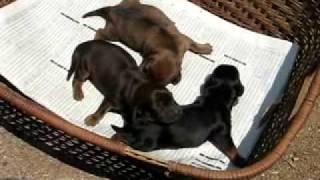 犬ダックス仔犬全部メスです2009年5月20日生まれ生後3日目の撮...